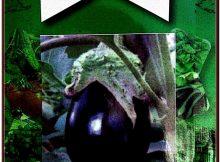 Miracle Adana Dolmalık Patlıcan Tohumu