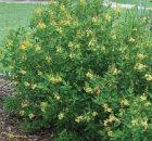 Galphimia Golden Shower Thryallis Ağacı Tohumu