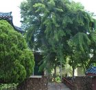 Tropikal Padouk Burmese Rosewood Ağacı Tohumu