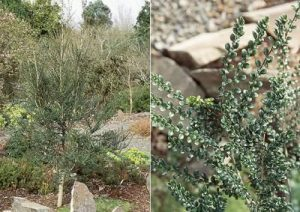 azara microphylla ağacı tohumu