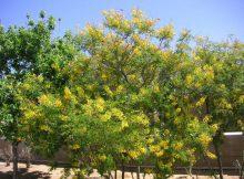 caesalpinia meksika ağacı tohumu