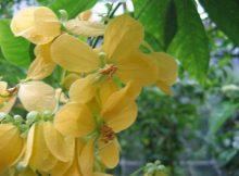 cassia fruticosa ağacı tohumu