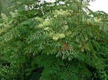 chinese angelica ağacı tohumu