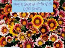 gazanya köyün gözü çiçeği tohumu