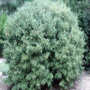 gray dogwood ağacı tohumu