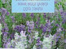 ingiliz lavanta çiçeği tohumu