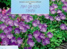 mavi çan çiçeği tohumu