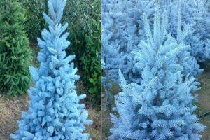 mavi ladin tohumu